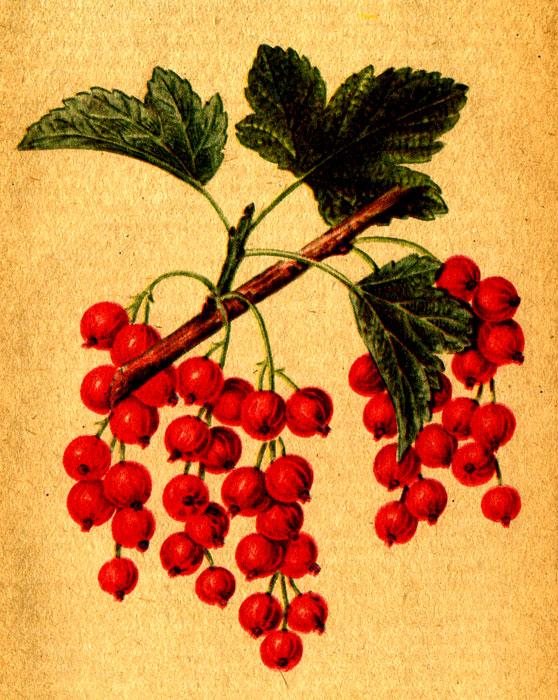 Смородина сорта Файя плодородная