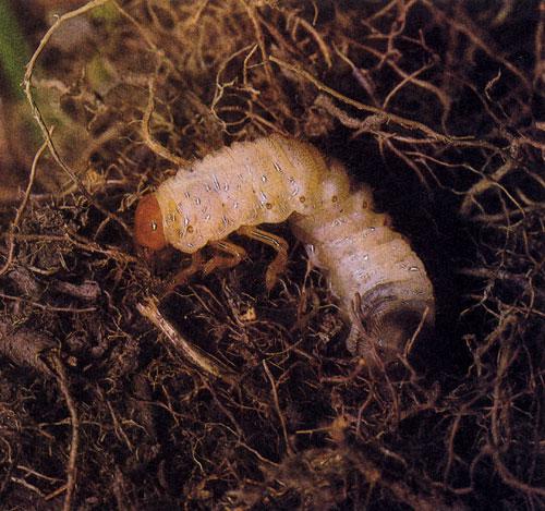сам вредители живущие в почве фото травы