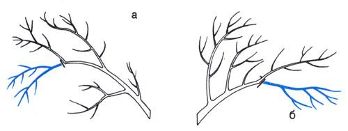 Уход за кроной в период, когда чередуются урожайные и неурожайные годы и уменьшается прирост однолетних побегов. Умеренное омолаживание: а) обрезка сгибающихся полукругом ветвей; 6) обрезка густых ветвей
