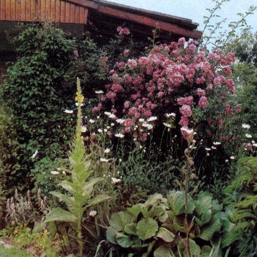 Хотя чаще всего роза наиболее эффектно выглядит на фоне травянистой поверхности, тем не менее она может играть и доминантную роль, как это мы видим на снимке, особенно если растение обильно украшено махровыми цветами