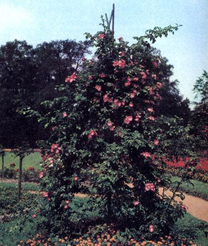 Цветы с такой сочной окраской по праву могут служить украшением садика