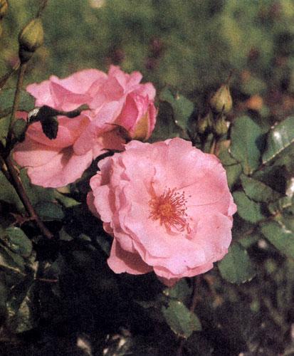 Роза флорибунда 'Geisha Girl' отличается небольшими нежно-розовыми цветами и сочной зеленью листьев