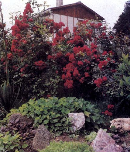 Садовые розы создают фон для альпинария. Окраска цветов подобрана так, чтобы растения хорошо смотрелись у белой стены дома