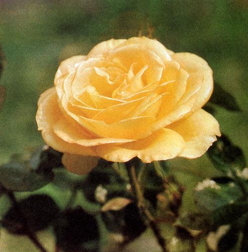 'Peer Gynt' — стройная роза, достигающая 60 см в высоту, с золотисто-желтыми цветами и сочно-зелеными листьями