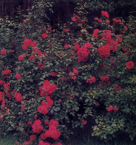Совсем естественно выглядит парковая роза в саду природного типа. Здесь она может расти как одиночное растение, красиво выглядит и в групповой посадке