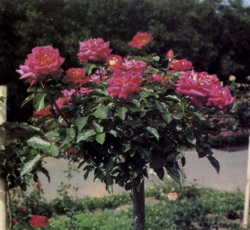Штамбовые розы рекомендуют привязывать к длинному деревянному колу, верхняя часть которого уходит в крону. Это предохраняет растение от опасности надломиться в ветреную погоду. Кол желательно покрасить белой олифой