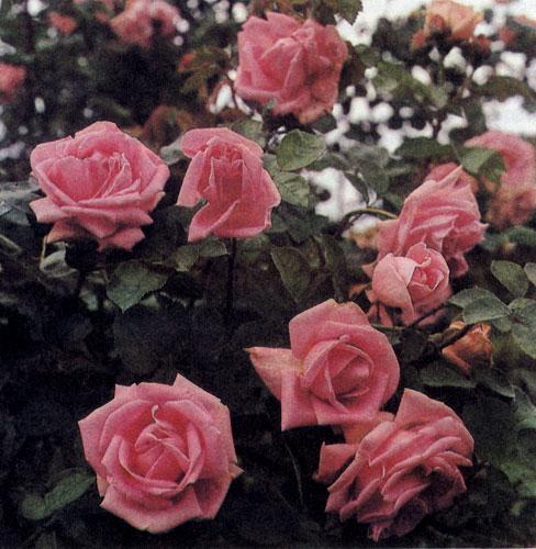 фото цветов. розы.