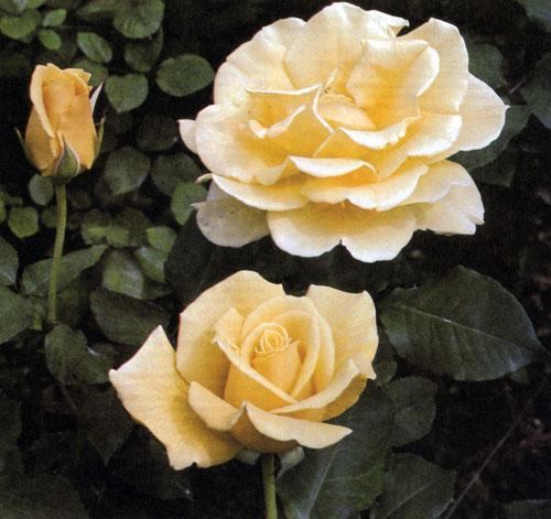 Гибрид чайной розы 'Dr. A. J. Verhage' образует сильный компактный куст высотой до 60—70 см. Цветы у него янтарно-желтые с нежным бронзовым оттенком