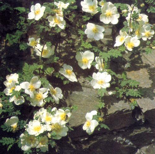 Rosa sericea var. pteracantha относится к числу изначальных видов розы. В высоту она достигает 3 м