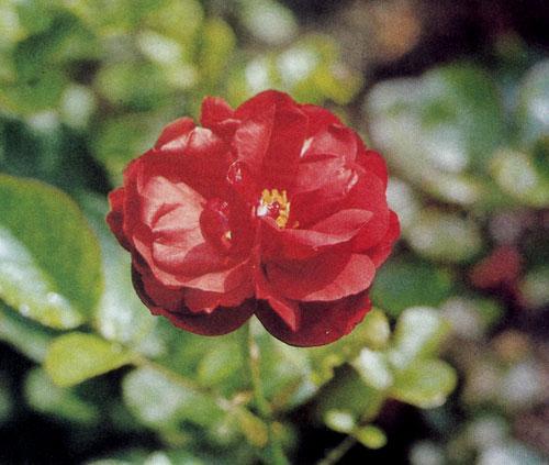 Роза флорибунда 'Lilli Marleen' растет не очень быстро и достигает 50—60 см. Цветы у нее полумахровые, густой огненно-красной окраски. Подходит для групповых посадок