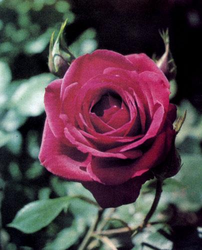 Махровость — весьма важный отличительный признак при классификации розы. В зависимости от числа лепестков розы подразделяются на простые, слегка махровые, полумахровые, махровые и очень махровые. У гибридов чайной розы цветы обычно очень махровые, насчитывают 40 и более лепестков, расположенных 8 кругами