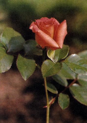 Гибрид чайной розы 'Bettina' — растение средних размеров (около 60 см в высоту) и раскидистой формы. Ее листья отличаются эффектным металлическим отливом, а цветы — оранжевой окраской. Эта роза хорошо цветет и нуждается в достаточном количестве питательных веществ