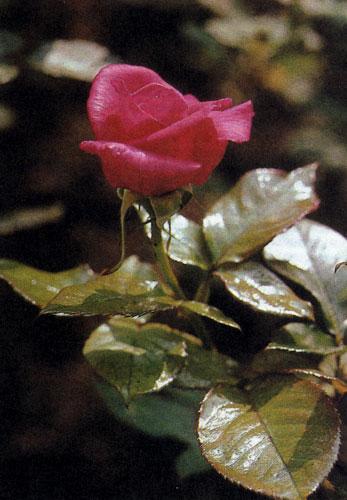 У гибрида чайной розы 'Peter Frankenfeld' крупные цветы карминово-красного цвета. Эта роза быстро растет и не боится мороза. Листья у нее темно-зеленой окраски