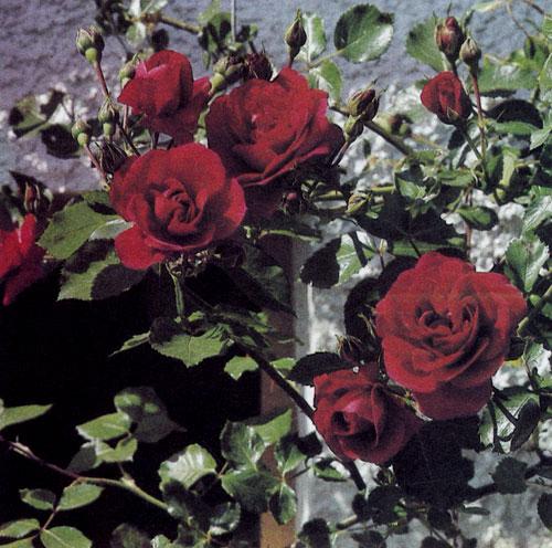 Правильно подобранный цвет розы, посаженной около дома. Цветы эффектно контрастируют с белой штукатуркой его стен