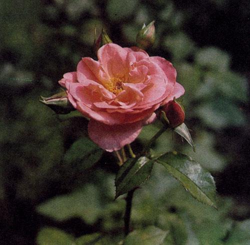 Роза флорибунда 'Irish Beauty' с крупными полумахровыми розовато-красными цветами с золотистым отливом достигает в высоту 50 см.