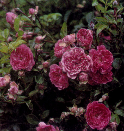 Роза обладает всеми достоинствами, необходимыми садовому растению: она долго живет, нетребовательна, не нуждается в большом уходе, не боится холода и, разумеется, отличается прекрасной формой, красочностью цветов и нежным ароматом