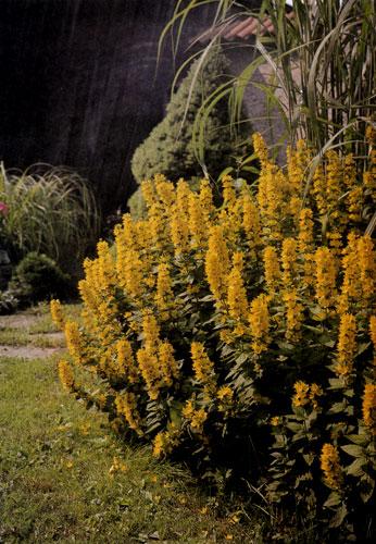 Группа высоких злаковых трав с вербняком (Lysimachia punctata) на переднем плане естественно соединяет площадь газона со стенкой на заднем плане, которую травы частично прикрывают