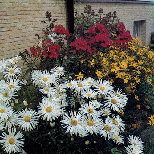 Посадки многолетников неправильной формы используются часто как декоративный элемент сада. На нашем снимке показана гармонично подобранная группа: Chrysanthemum maximum. Coreopsis verticillata и многолетний флокс Phlox paniculata 'Septemberglut'
