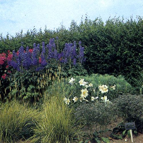Группа высокорослых многолетников перед живой изгородью с преобладающей синевой дельфиниума (Delphinium) красиво сочетается с красным цветом многолетнего флокса (Phlox paniculata) и белизной лилии (Lilium). Их дополняют декоративные злаковые травы и Limonium lati folium