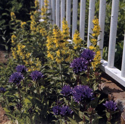 Campanula glomerata с темно-фиолетовыми цветами и вербейник (Lysimachia punctata) с золотисто-желтыми цветами относятся к числу нетребовательных многолетников, рекомендуемых для выращивания в любом саду