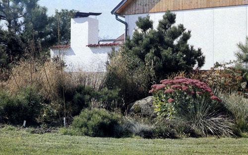 Смешанная группа хвойных деревьев, злаковых трав и многолетников, в которой выделяется большой куст цветущей заячьей капусты Sedum telephium 'Herbstfreude', естественно дополняет вид на заднюю часть дома