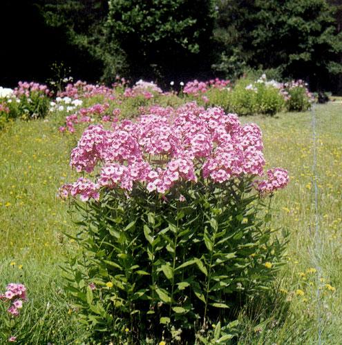 Многолетний флокс находит самое широкое и многостороннее применение в саду. Благодаря высоким прямостоячим стеблям и яркой окраске цветов он используется как в одиночных посадках, так и в крупных и небольших группах многолетников. Флокс сажают рядами или в ковровых посадках низкорослых многолетников, где он красиво контрастирует с остальными растениями