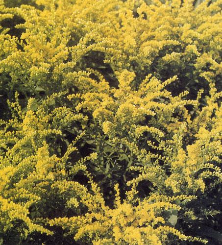 Золотарник (Solidago) — весьма распространенный многолетник, который осенью часто видим в рабатках. Современные рорта, значительно выше остальных, высаживают за смешанными группами многолетников и леред опадающими древесными породами, листья которых осенью окрашиваются в разные цвета