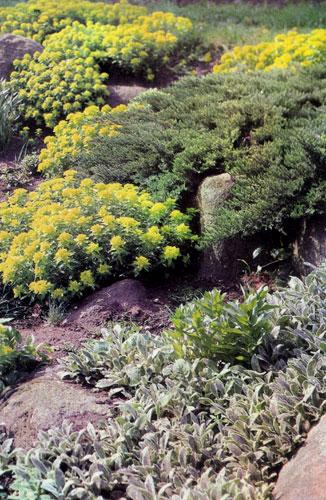 Euphorbia polychroma — подлинное украшение любого альпинария в весенний период. Это растение используют и в качестве миксбордера перед декоративными древесными насаждениями, а осенью — рядом с многолетними астрами (Aster). Оно отличается интересной формой и листвой, а цветов образуется мало. На концах стеблей развиваются ярко-желтые околоцветники. На снимке: контрастирующая группа — свежая зеленая листва молочая и белопушистые листья чистеца (Stachys byzantina)