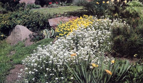 После того, как отцветают луковичные, на равнинных участках в групповых посадках многолетников сажают ковровые или кустовые многолетние цветочные культуры, которые, разрастаясь, заполняют и озеленяют пустые места, образовавшиеся после луковичных. Резуха с белыми цветами (Arabis procurrens) и желтый алиссум (Alyssum saxatile 'Compactum') красиво выделяются на фоне темно-зеленых хвойных деревьев
