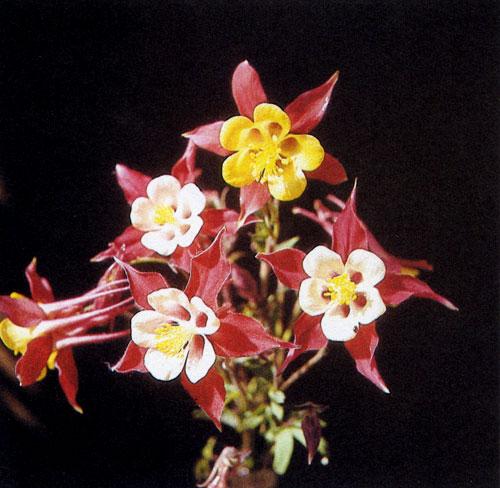 Современные сорта аквилегии (Aquilegia) отличаются крупной элегантной формой, изящным строением и разнообразной окраской. Они достигают в высоту 60—80 см, обильно цветут в мае—июне. Поскольку красота цветков видна лишь вблизи, их сажают небольшими группами среди высоких многолетников — главным образом в рабатки или на клумбы вдоль дорог. Цветы пригодны на срезку, но в вазах быстро вянут
