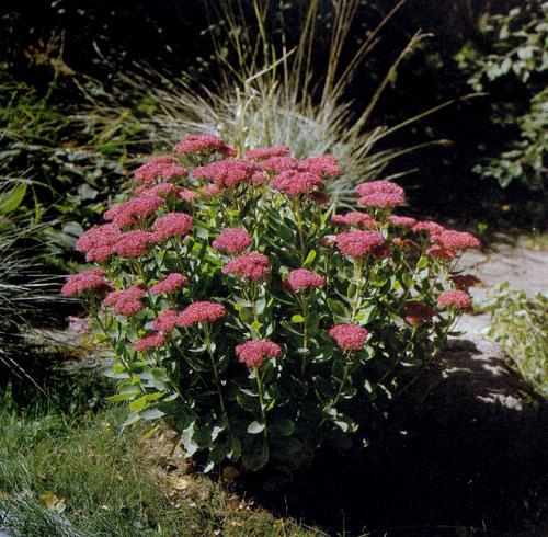 Sedum spectabile 'Brillant' — неприхотливый многолетник с толстыми листьями, не требует почти никакого ухода. Декоративны как его листья, так и цветы, которые появляются в конце лета—начале осени