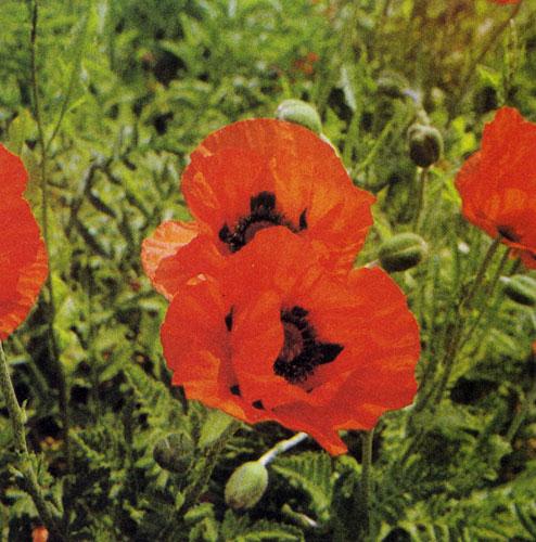Алые цветки восточного мака (Papaver orientate) ярко полыхают в саду вплоть до поры, когда расцветут розы. Они бывают огненно-красными, пурпурными, кирпично-красными, нежно розоватыми, розовыми и белыми с черными пятнами. Цветы мака очень декоративны и пользуются популярностью среди любителей цветов
