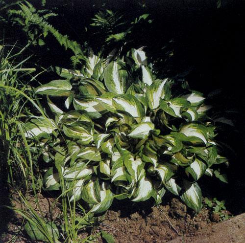 Hosta undulata 'Medio-Variegata' — многолетник, хорошо растущий в полутени и тени, с красивыми волнистыми бело-пятнистыми листьями. Лиловые шестиугольные колокольчатые свисающие цветы, собранные в кистевидные соцветия, появляются в июле—августе. Этот многолетник высаживают как в одиночных, так и групповых посадках среди деревьев, вблизи водоемов, в бордюрах и природных участках сада