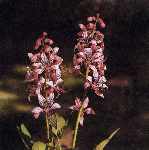 Dictamnus albus — необычайно устойчивое и выносливое растение для сухих почв с содержанием кальция