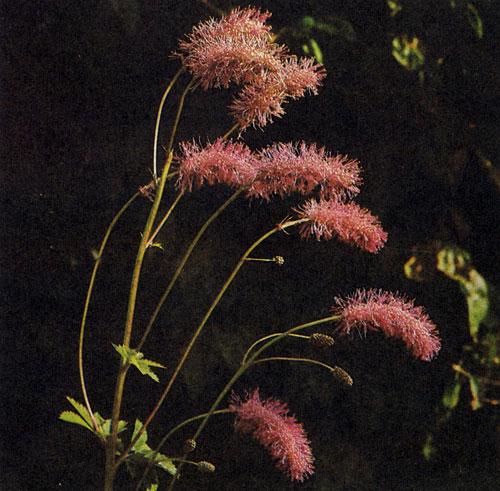 Sanguisorba tenuifolia 'Wiesenknopf — изящный многолетник с оригинальным соцветием и грациозно свисающими колосовидными цветами. Очень декоративны свеже-зеленые махровые листья. Используется главным образом на природных участках сада, среди деревьев и в рабатках на слегка затененных местах. В высоту достигает 180 см