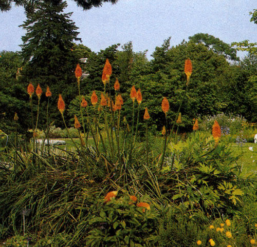 Kniphofia uvaria 'Nobilis' — необычный декоративный многолетник родом из Южной Африки с жесткими вечнозелеными листьями. Цветки собраны в густые кистевидные соцветия, состоящие из трубковидных свислых цветков. Используют его в групповых посадках многолетников в качестве одиночного растения. Это растение особенно выигрывает возле водоемов. Зимой требует сухого климата и теплого укрытия