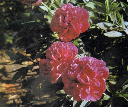 Пион лекарственный — Paeonia officinalis — многолетник, первоначальные виды которого когда-то росли во всех садах сельской местности. Некоторые современные саженцы также чрезвычайно красивы и считаются подлинным украшением сада, особенно весной