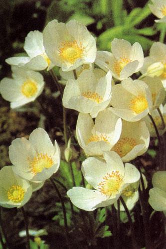 Anemone sylvestris 'Grandiflora' — подобен лесному анемону, отличается более крупными цветами кремово-белого цвета. Устойчив, легко разрастается. Любит почву с содержанием кальция, затенение, но хорошо растет и на солнце. Его используют в альпинариях, высаживают среди кустарников и под деревьями. Хорошо сочетается в посадках первоцвета (Primula), пролесок (Scilla), лука гадючего (Muscari) и подобных растений