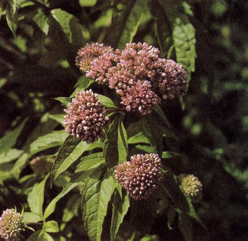 Eupatorium purpureum — высокорослый крупный многолетник с толстыми неразветвляющимися стеблями, ланцетовидными листьями и бордово-красными цветами. Ценится главным образом из-за того, что поздно цветет. Высаживается в парках, у водоемов и среди древесных насаждений. Растет на глубокой почве, на солнечных или затененных местах, защищенных от ветров и морозов. При благоприятных условиях выдерживает десятки лет