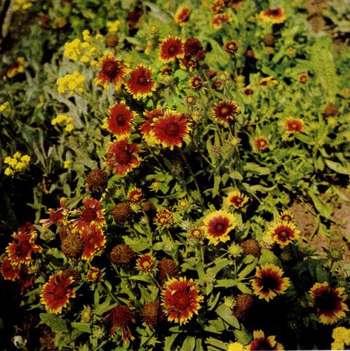 Gaillardia grandiflora 'Fackelschein' — необычайно долгоцветущий многолетник. Используют в рабатках, групповых посадках многолетников и на срезку. В конце лета растения необходимо обрезать, чтобы они перезимовали, а на следующий год — снова обильно зацвели