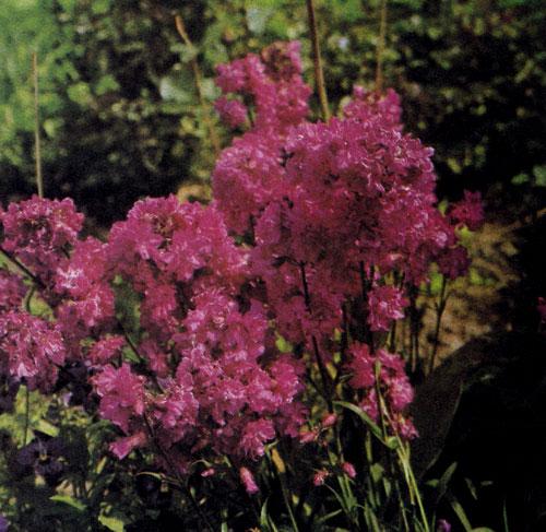 Lychnis viscaria 'Plena' относится к красивоцветущим многолетникам, используемым в рабатках, больших альпинариях и в бордюрах. Растение образует розетки прикорневых листьев, а на липких стеблях расцветают большие карминно-красные цветы с приятным ароматом. Они гармонично сливаются с одновременно цветущими вероникой (Veronica austriаса 'Royal Blue'), астрой (Aster tongolensis 'Wartburgstern') и ясколкой (Cerastium tomentosum var. columnae)
