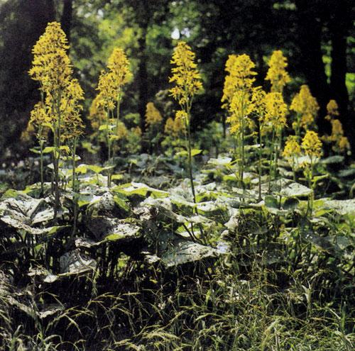 Ligularia×hessei — крупное высокорослое многолетнее растение (150—180 см) с декоративными листьями и цветами в кистевидных, поднятых вверх соцветиях. Используют в одиночных посадках или в небольших группах, в основном, возле водоемов