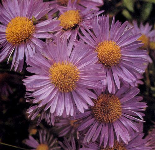 Aster alpinus — ценный многолетник с многосторонним использованием. Существует множество сортов с разнообразной расцветкой. Используют в альпинариях, в расселинах, живых изгородях (чаще всего в верхней части), в бордюрах, природных группах многолетников и на срезку