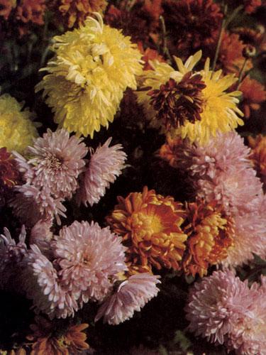 Chrysanthemum×hortorum — обычно последние цветы в саду, которые цветут до самой глубокой осени. Расцветка цветков хризантем весьма разнообразна и многогранна. Цветут постепенно до самых заморозков