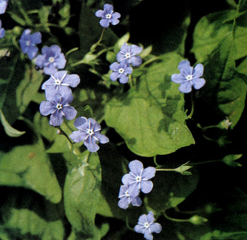 Omphalodes verna — тенелюбивый многолетник с красивыми цветками, подобными незабудке. Он покрывает весь участок почвы, поэтому пригоден для озеленения или оживления затененных мест в саду и в альпинариях