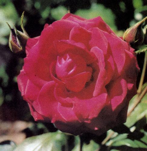 Крупноцветные гибриды чайной розы обычно сажают возле дома или места отдыха, чтобы иметь возможность с близкого расстояния любоваться красотой цветов и вдыхать их аромат
