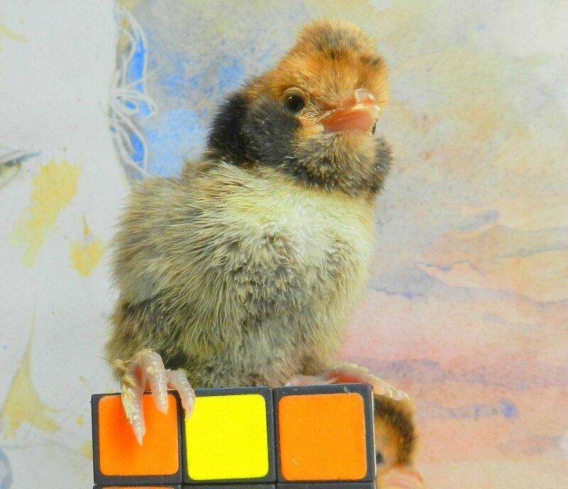 Цыплята 22 апреля
