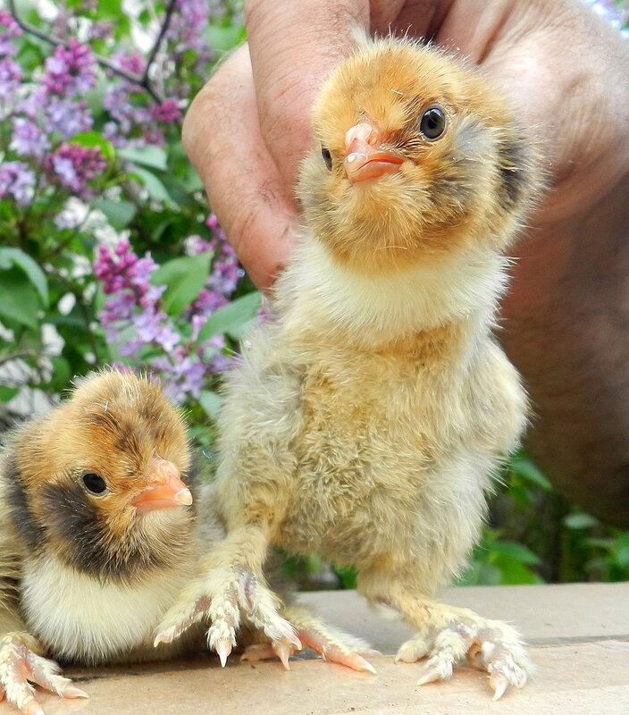 24 мая павловские цыплята