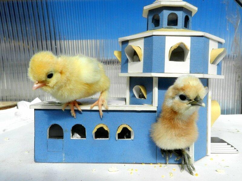 Дом для цыплёнка должен быть крепостью!