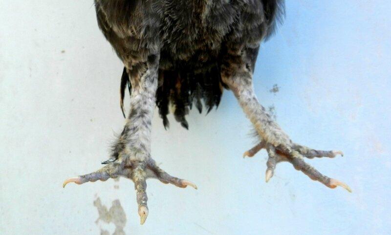 павловская нога